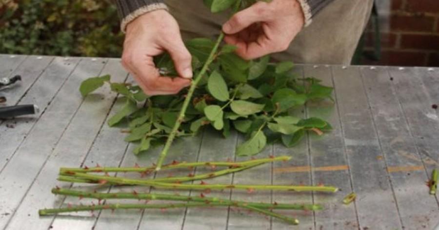Egyetlen rózsatőből több tucat új tövet szaporíthatsz egyszerű, házilagos módszerrel