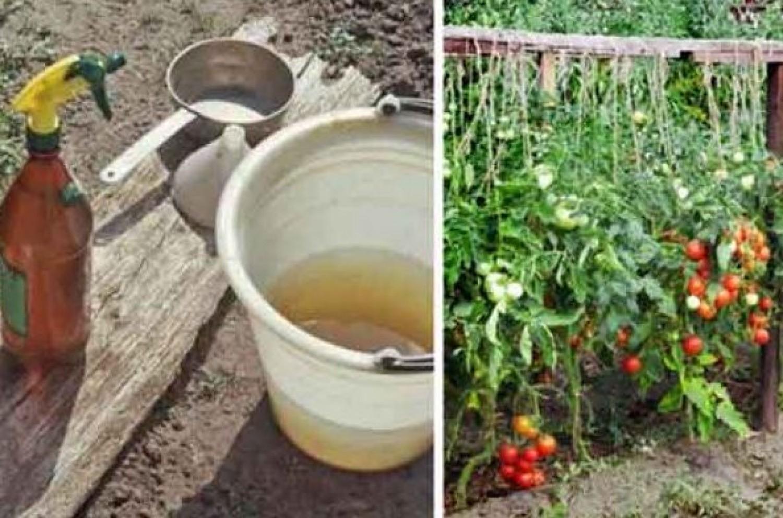 Ezzel a keverékkel locsold be a paradicsomot és uborkát, többé nem kell aggódni betegségek, kártevők miatt!