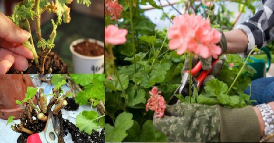 Így kell átteleltetni a muskátlit, hogy jövőre dús virágzata legyen