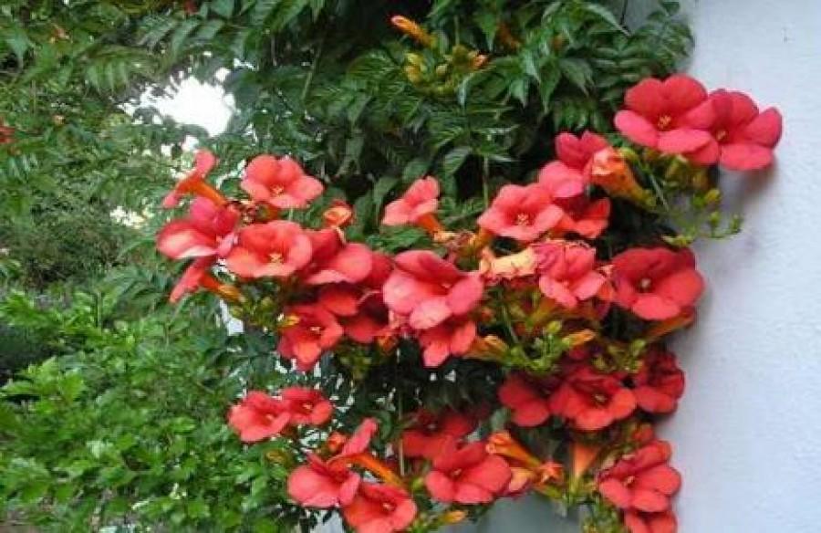Ez az egyik legalattomosabb növény a kertben. Pedig gyönyörű!